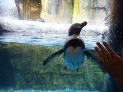 пингвины в зоопарке морских животных в Дубай-молле